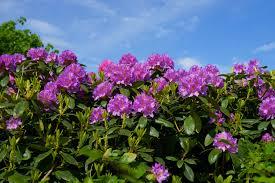 Free Images Nature Blossom Sky Sweet Bush Botany Colorful