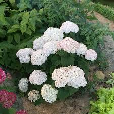 hydrangea white invincibelle wee white hydrangea at jackson perkins