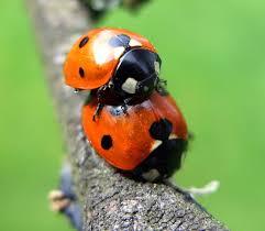 7 spot ladybird naturespot