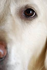 Can Cataracts Cause Blindness Cataracts In Dogs Vca Animal Hospital