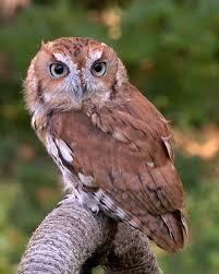 screech owl wikipedia