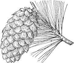 white pine cone pine cone of limber pine clipart etc