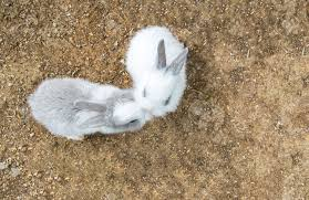 cute small baby easter bunny white and gray rabbit kissing