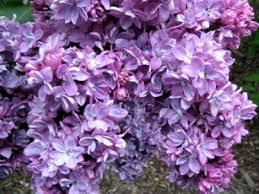 when should i prune my flowering shrubs backyard farmer