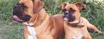 boxer dog 2015 diary boxer dog breed guide learn about the boxer dog