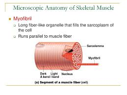 microscopic anatomy of skeletal muscle answers gallery human