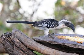 jackson u0027s hornbill tockus jacksoni hotspot birding