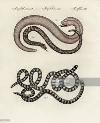 false coral snakes and worm lizards pictures getty images