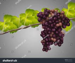 draw grapes stock illustration 429685621 shutterstock