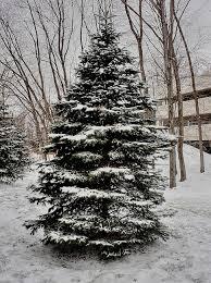 snowy tree hdr creme