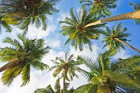 1000x667px 1184 34 kb palm trees 425910