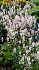 european ginger a first rate groundcover plant for shady areas