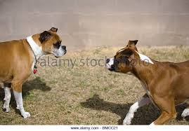 boxer dog female boxer dogs playing stock photos u0026 boxer dogs playing stock images