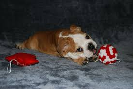affenpinscher breeders canada puppies affenpinscher sale hong kong affenpinscher pup buy puppy