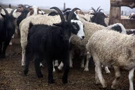 shearing a profit off mongolia u0027s goats mongolia al jazeera