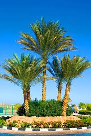 south florida tree trimming service palm pruning tree removal