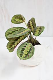 Fragrant Indoor Plants Low Light - best 25 prayer plant ideas on pinterest plant green leaves and