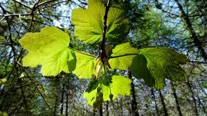 free images nature forest branch light sunlight leaf