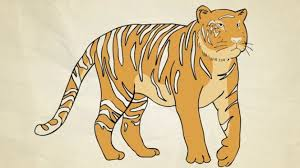 how to draw a tiger drawing south china tiger by
