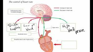 Heart Wall Anatomy Hormonal And Nervous Control Of Heart Rate A2 Science Youtube