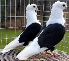 pigeon pics 23