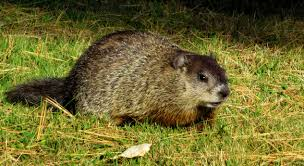 13o years of groundhog day where did this tradition come from