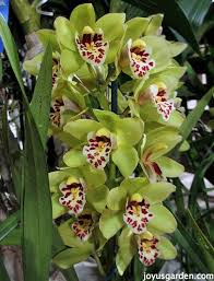 cymbidium orchids cymbidium orchid care