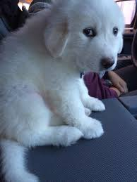 great pyrenees rescue provides wonderful dogs to good homes girlfriends great pyrenees puppy aww