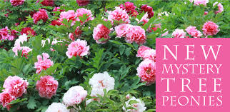 peonies for sale mystery tree peony sale