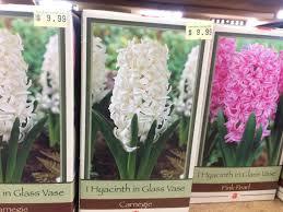 hyacinths easy indoor winter blooms pegplant