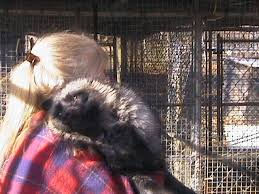 affenpinscher puppies for sale in ohio wess exotic animals skunks foxes raccoons foxes