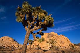 list of california native plants climate change threatens an iconic desert tree
