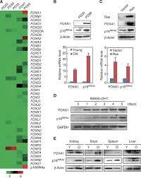 foxa1 mediates p16ink4a activation during cellular senescence