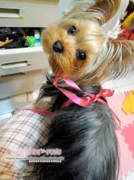 tea cup yorkie hair cuts yorkie haircuts 100 yorkshire terrier hairstyles pictures