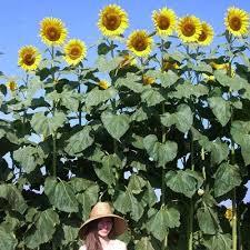 sunflower american f1 harris seeds