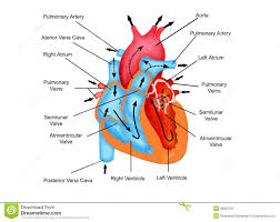 path of blood through the heart diagram download wiring diagram