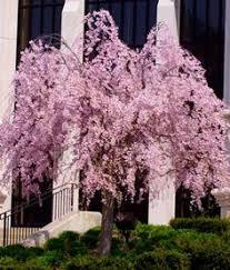 yoshino cherry tree prunus x yedoenis for sale brighter blooms