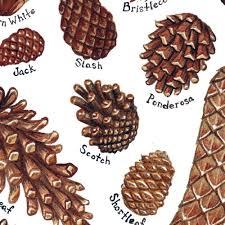 white pine cone pine cones field guide art print u2013 kate dolamore art