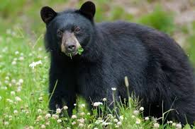 New Jersey wildlife images Fish wildlife extends new jersey bear hunting season by four