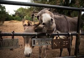 palo alto u0027s movie star donkey perry