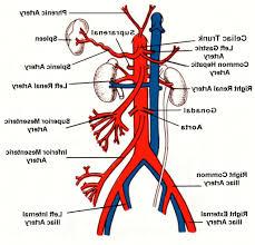 Anatomy Human Abdomen Abdominal Aorta Anatomy Image Collections Learn Human Anatomy Image