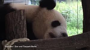 berlin zoo u0027s giant panda meng meng is walking backwards in protest