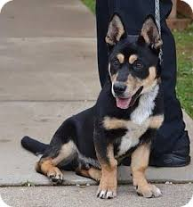 australian shepherd x kelpie lemuel guilliver adopted puppy jersey city nj welsh corgi