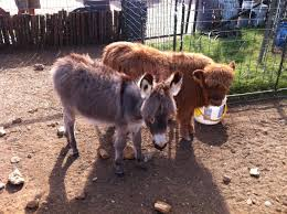 check out these fluffy cows aww