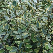 southern living plant collection 2 gal olive martini elaeagnus