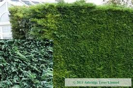 lawson false cypress hedging ashridge nurseries