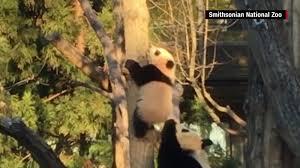 china u0027s shenshuping panda center opens cnn travel