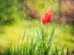 wallpaper bunga tulip bunga tulip flower wallpaper download hd bunga tulip flower