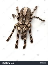 indian ornamental tarantula poecilotheria regalis isolated stock