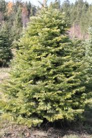 concolor fir christmas tree christmas lights decoration